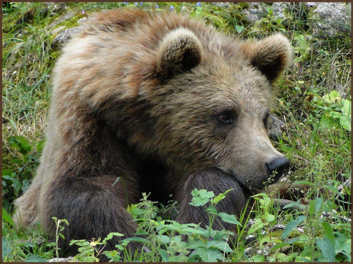 Un ours songeur...