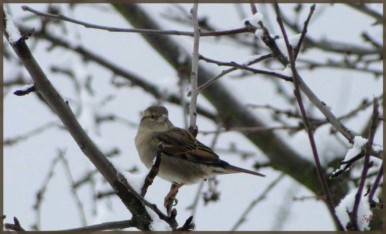 Petits oiseaux dans la neige...