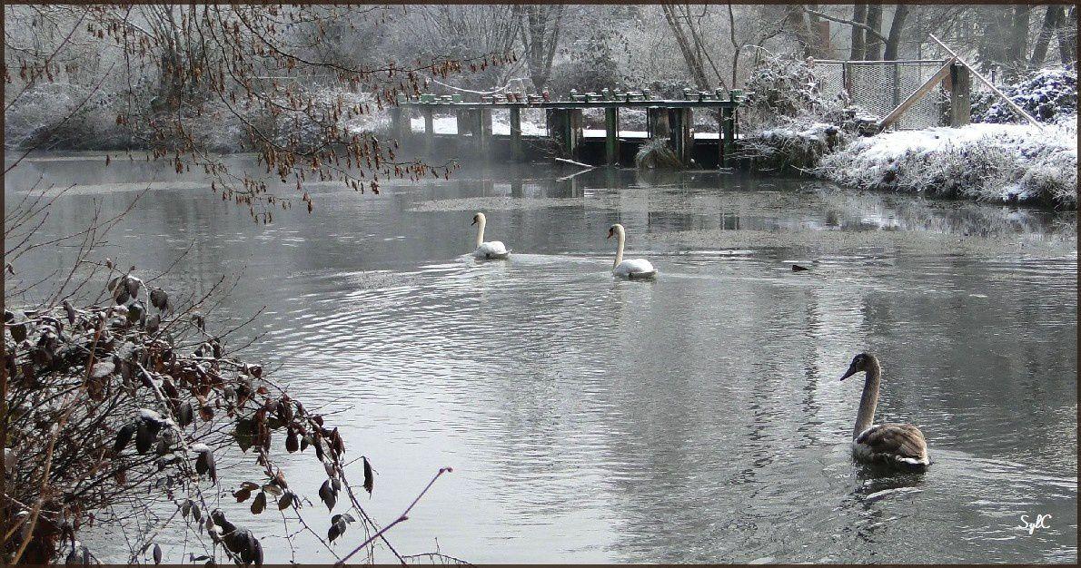 Une famille de cygnes en hiver...
