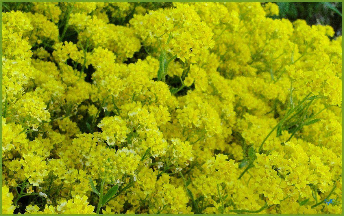 Fleurs bleues et jaunes... pour fêter les beaux jours !