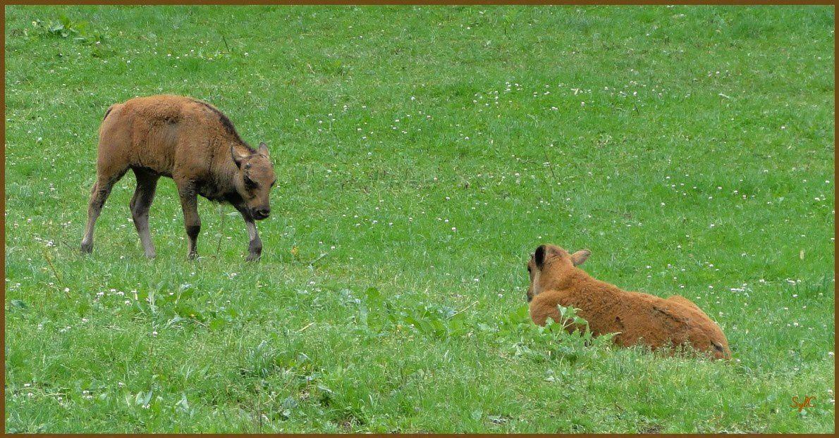 Bisons... pas si futés... !