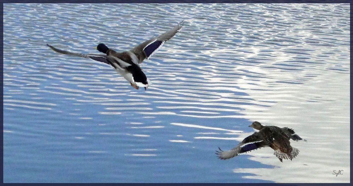 Vol de canards...