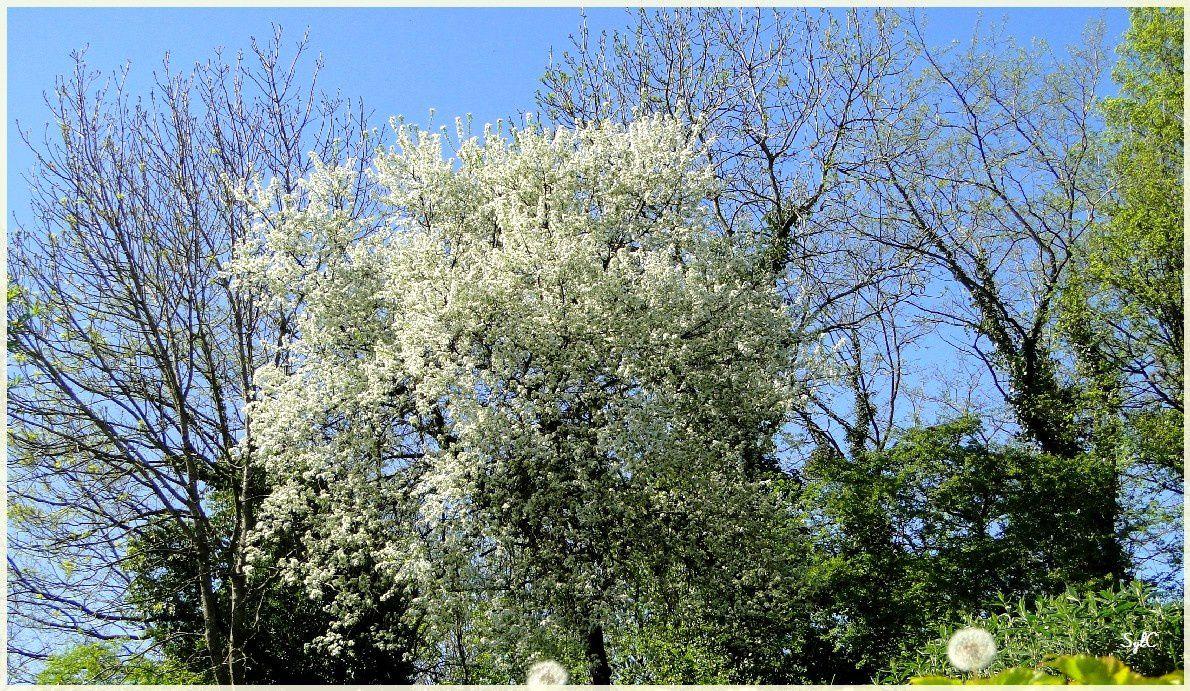 Arbres fleuris... cadeaux du printemps !