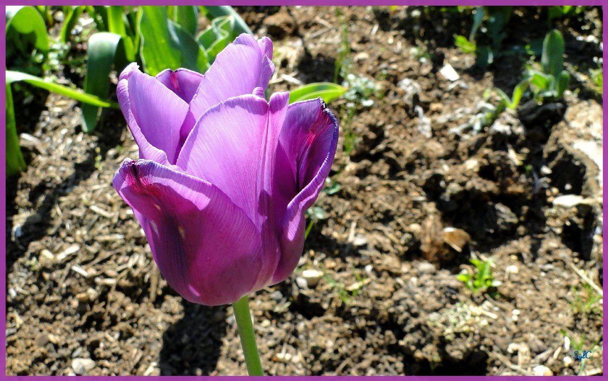Des fleurs de couleur bleu, violette ou rose...