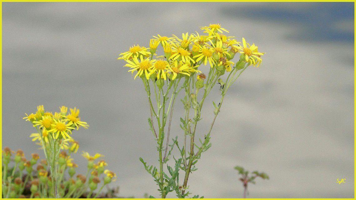 Un peu de fleurs jaunes pour égayer...