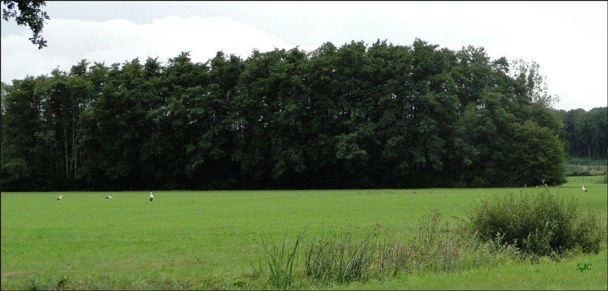 Des cigognes en Haute-Saône...