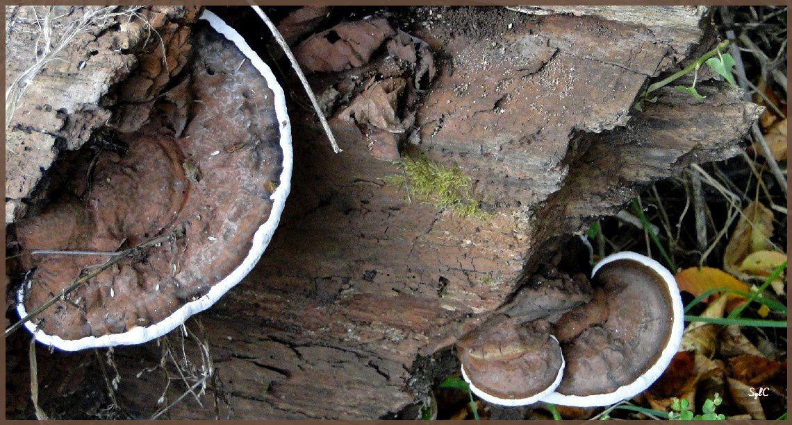 Champignons sur bois...