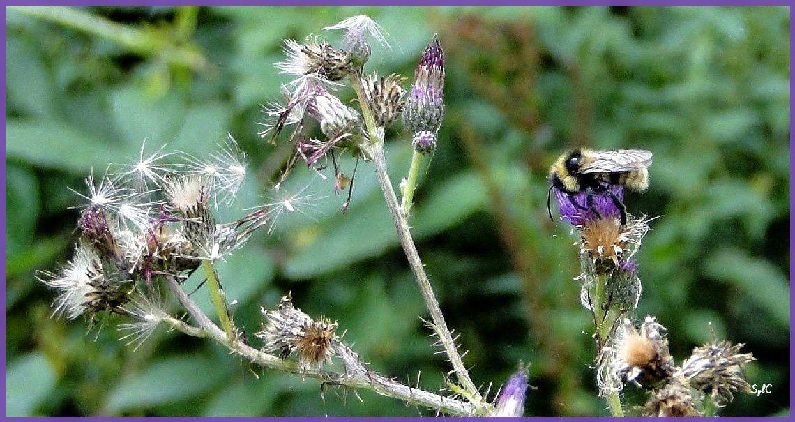 Coccinelle, abeille, sauterelle, syrphe, mouche sur des fleurs...