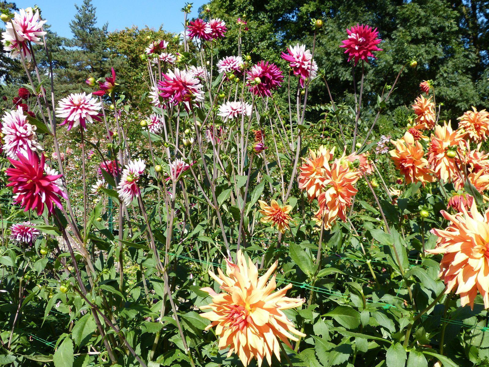 Doux Délire De Délicieux Dahlias du Parc Floral....en ce moment et c'est aussi gratuit !
