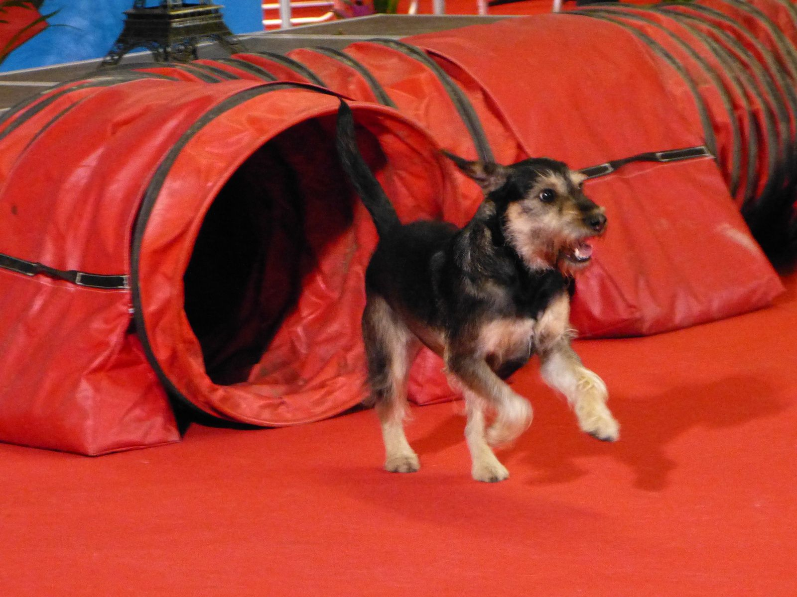 c'était Jack-sparrow avec Marianne au Parc Floral au Paris Dog Show 2016....Seconde place, excellent !