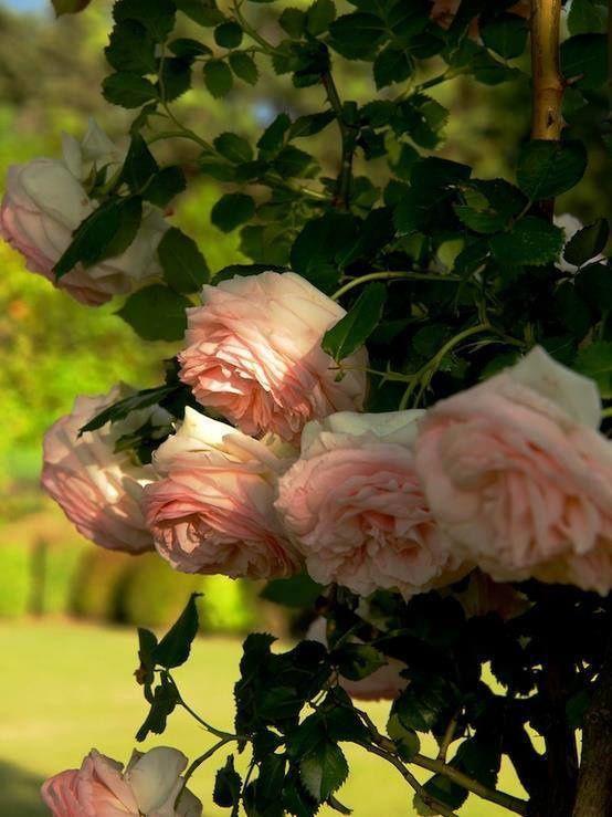 Du Rose pour Sainte Rose...