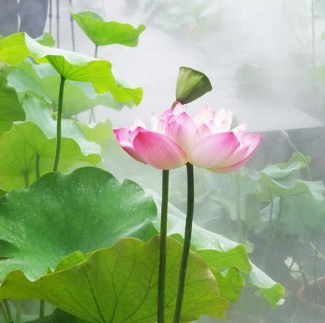 Fleur de lotus jardin de chine - Fleur de lotus bouddhisme ...