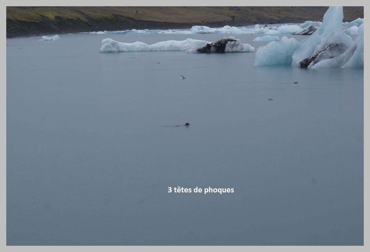 La faune croisée en Islande.Août 2015