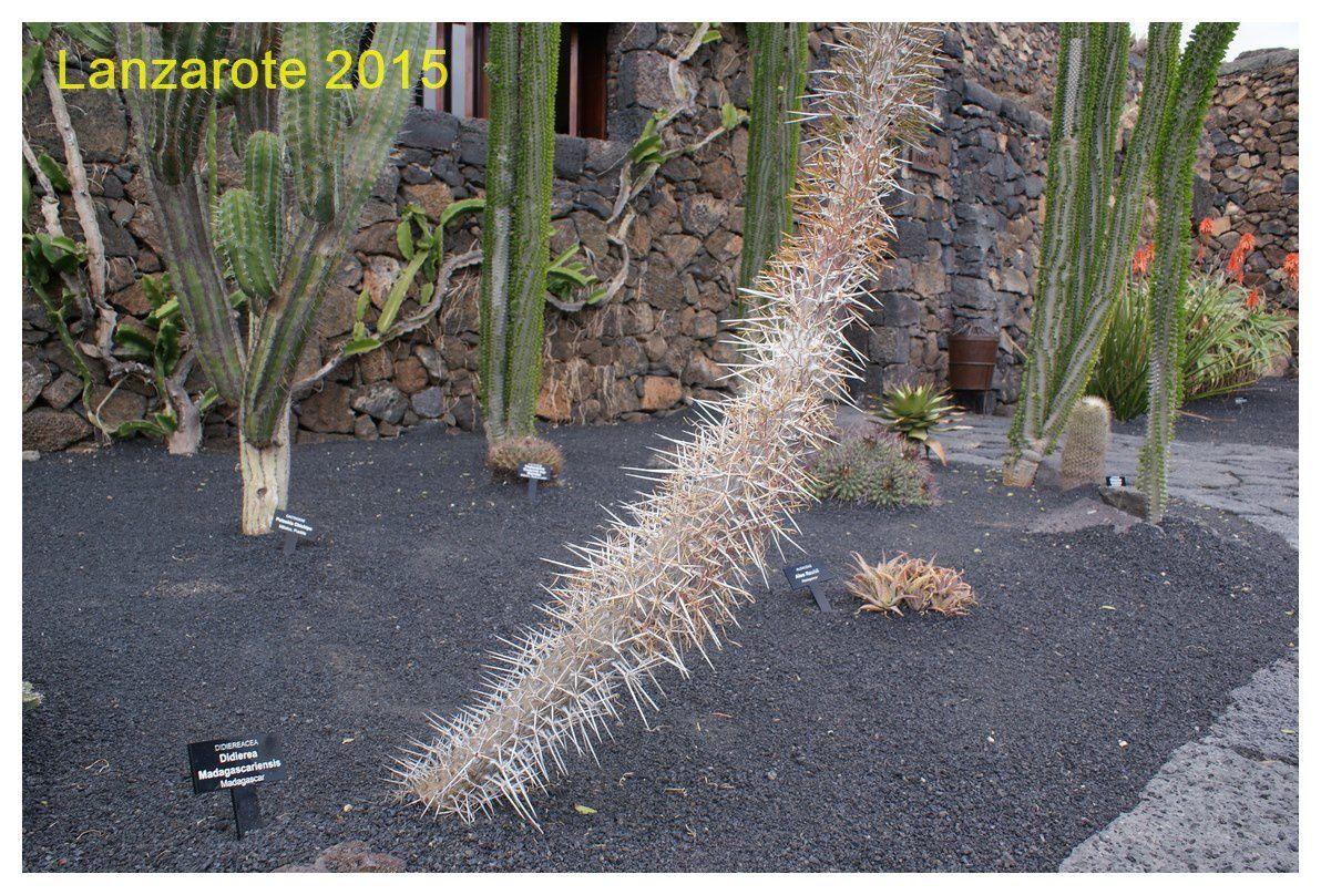 Didier a trouvé son cactus :)  Didierea Madagascariensis