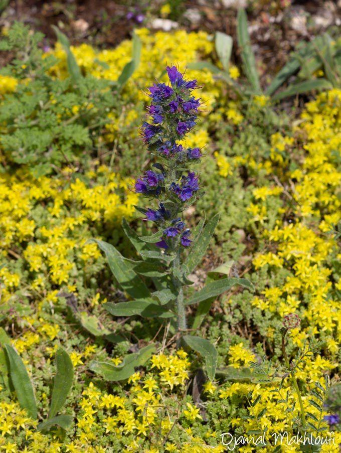 La vipérine commune, fleur sauvage des milieux secs