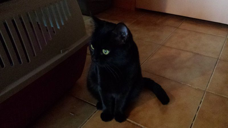 ADOPTION CHAT - ANNONCE 02/04 -KITKAT 2 ans, F
