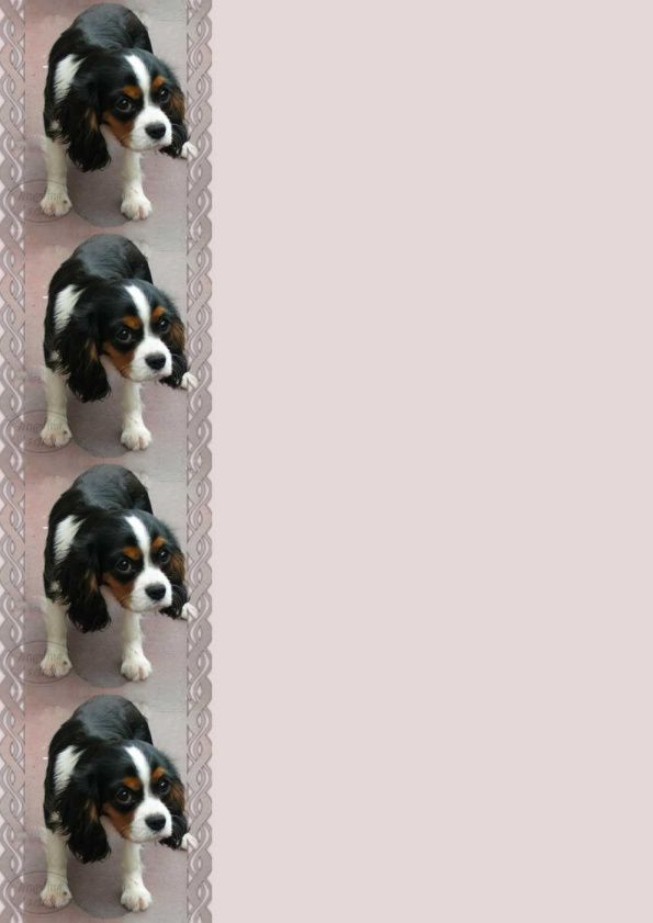 Cavalier King Charles fond uni Incredimail &amp&#x3B; Papier A4 h l &amp&#x3B; outlook &amp&#x3B; enveloppe &amp&#x3B; 2 cartes A5 &amp&#x3B; signets 3 langues   chien_cavalierkingcharles_00_fonduni