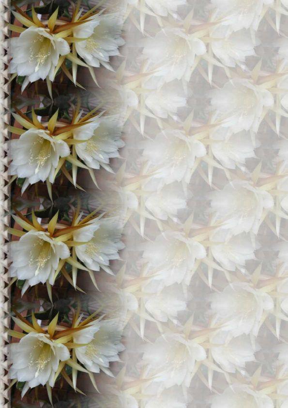 Epiphyllum blanc Incredimail &amp&#x3B; Papier A4 h l &amp&#x3B; outlook &amp&#x3B; enveloppe &amp&#x3B; 2 cartes A5 &amp&#x3B; signets 3 langues fleur_epiphyllum_dscn2470_00