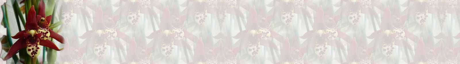 Maxillaria tenuifolia Incredimail &amp&#x3B; Papier A4 h l &amp&#x3B; outlook &amp&#x3B; enveloppe &amp&#x3B; 2 cartes A5 &amp&#x3B; signets 3 langues   orch_maxillaria_tenuifolia_130510_96_00