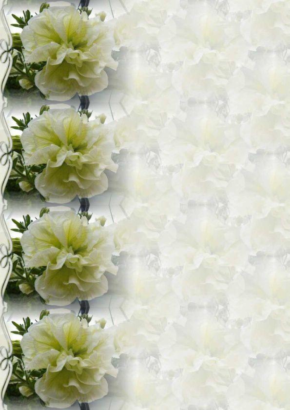 Pétunia double blanc Incredimail &amp&#x3B; Papier A4 h l &amp&#x3B; outlook &amp&#x3B; enveloppe &amp&#x3B; 2 cartes A5 &amp&#x3B; signets 3 langues   fleur_petunia_double_blanc_00