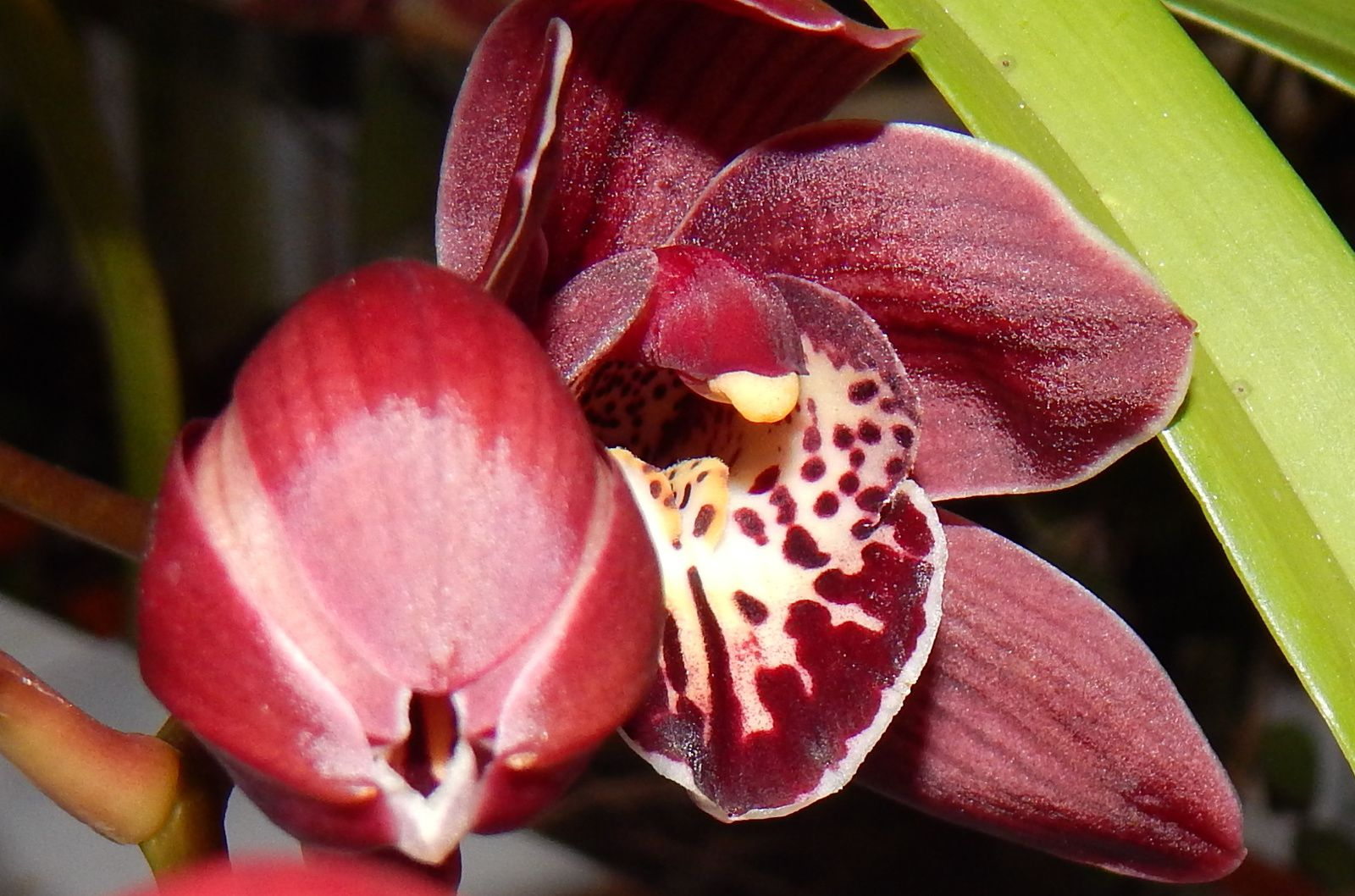 Cymbidium Cotil Point