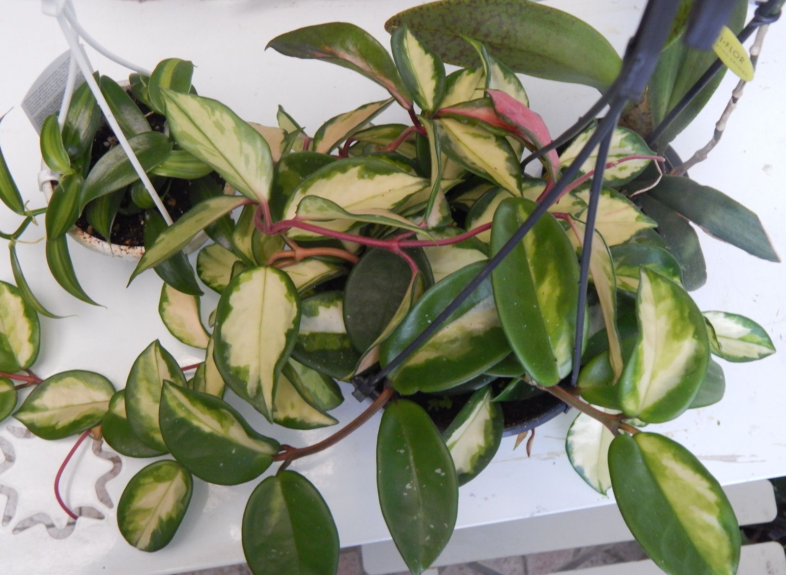 Hoya carnosa tricolore