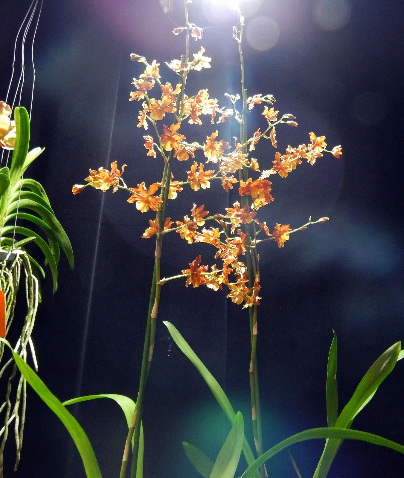Visite du 7ème salon des orchidées à Feytiat - suite 2