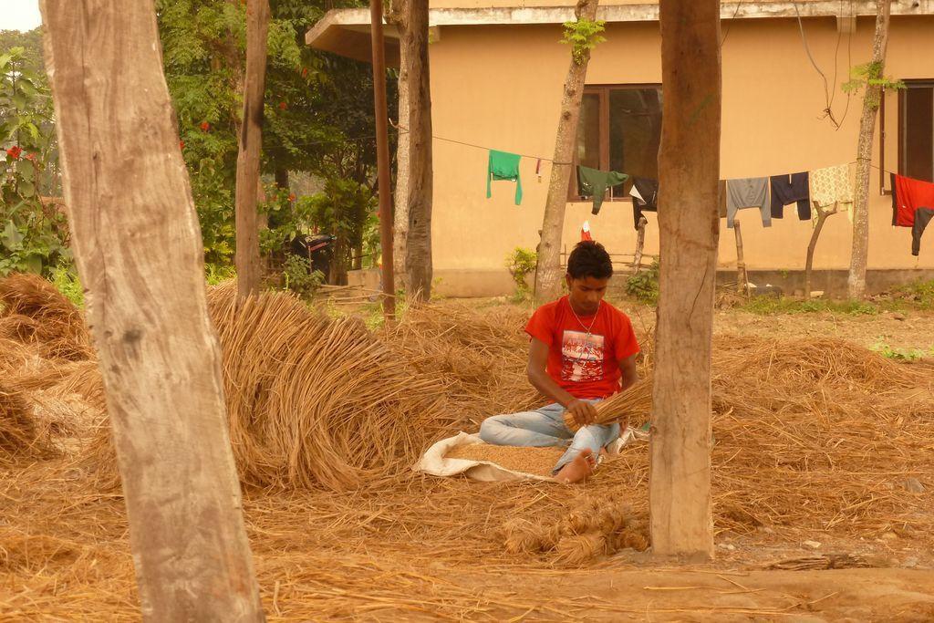 Alentours de Chitwan : récoltes