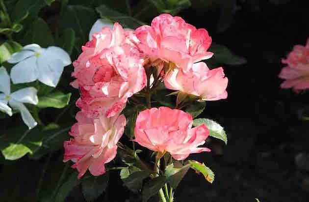 Sur le chemin des fleurs – Jean Dornac