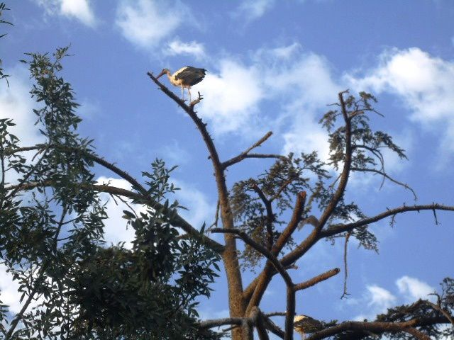Deux cigognes perchées sur ce qui reste d'un arbre de cèdre.Août 2014.