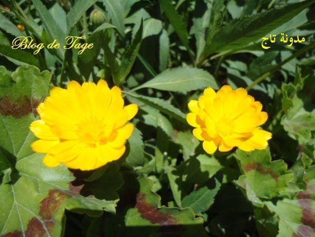 Deux fleurs jaunes.