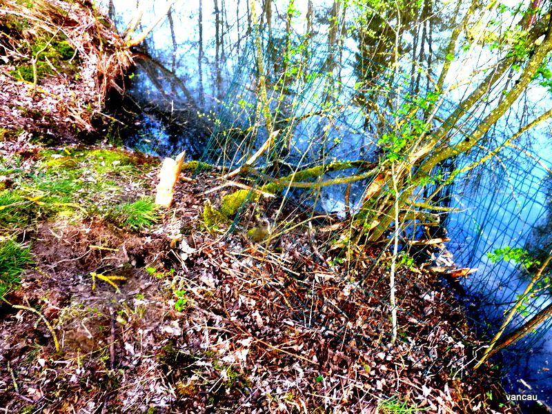 Les Castors arrivent dans mes étangs