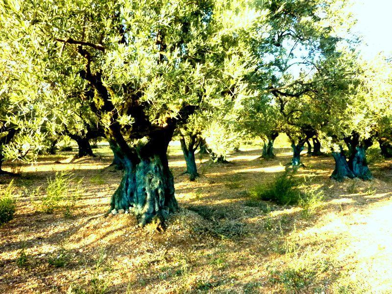 Les OLIVIERS pluri-centenaires