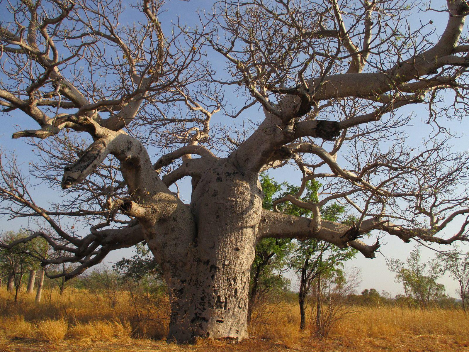 Baobab attendant la pluie