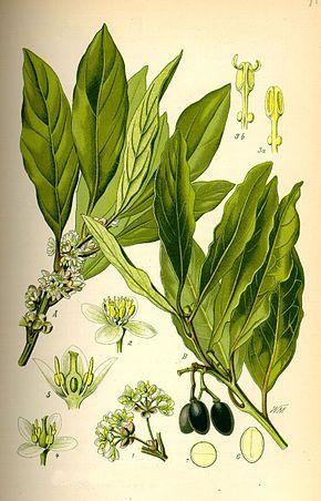 Laurus nobilis, Lauraceae