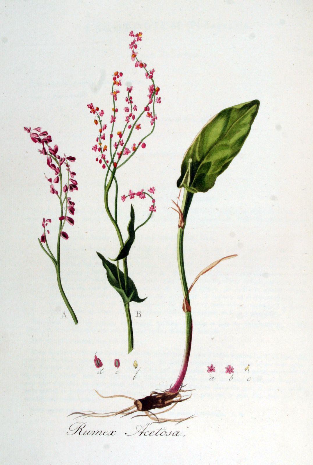 Rumex acetosa Polygonaceae