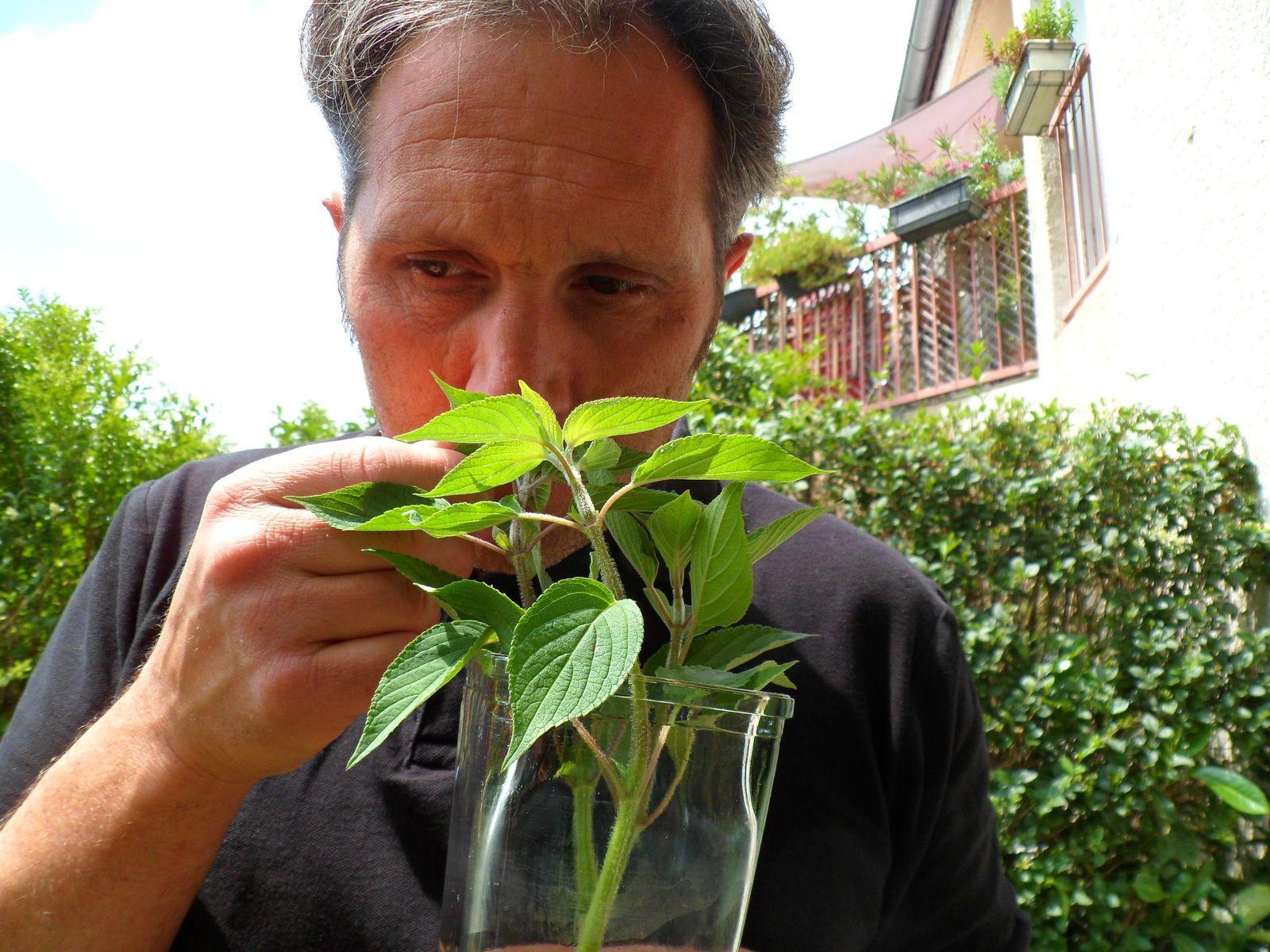 La sauge ananas bouture facilement dans l'eau, et j'avoue qu'un bouquet frais de la plante qui bouture dans un vase et d'un belle effet.