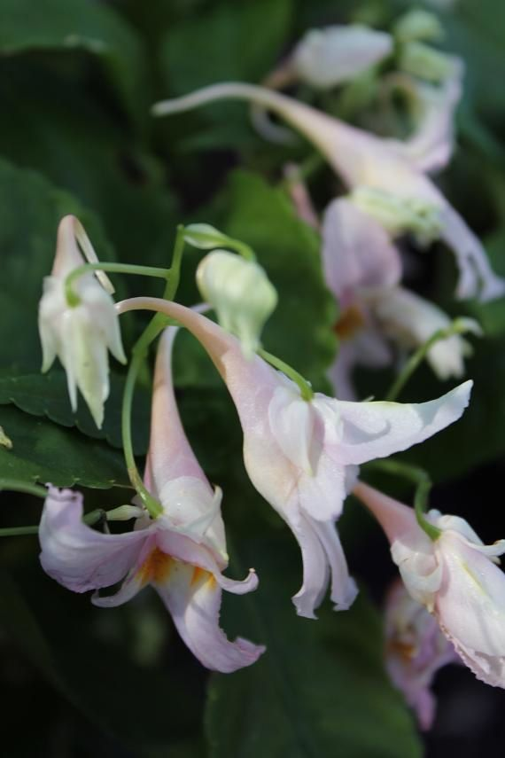 "Impatiens quingchanganica ""Emei Dawn"""