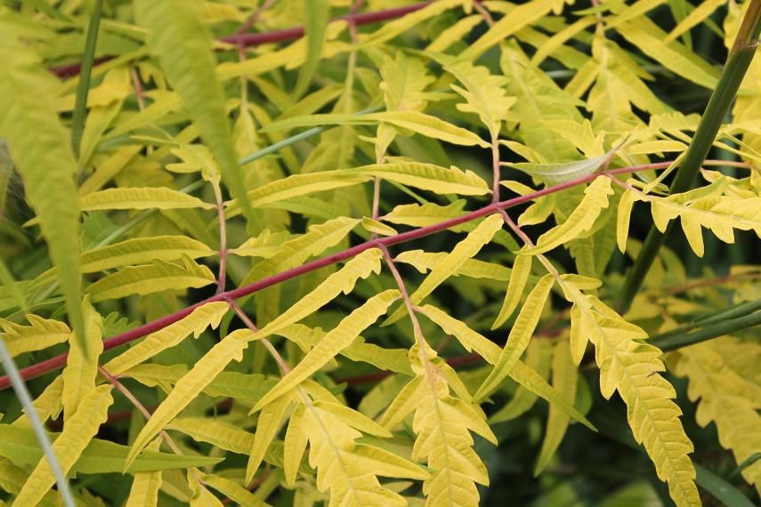 "Rhus typhina ""Tiger eyes"""