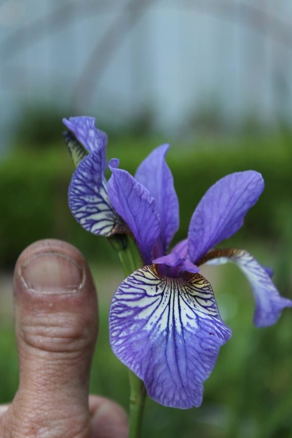 Iris sibirica &quot&#x3B;Flight of butterflies&quot&#x3B;