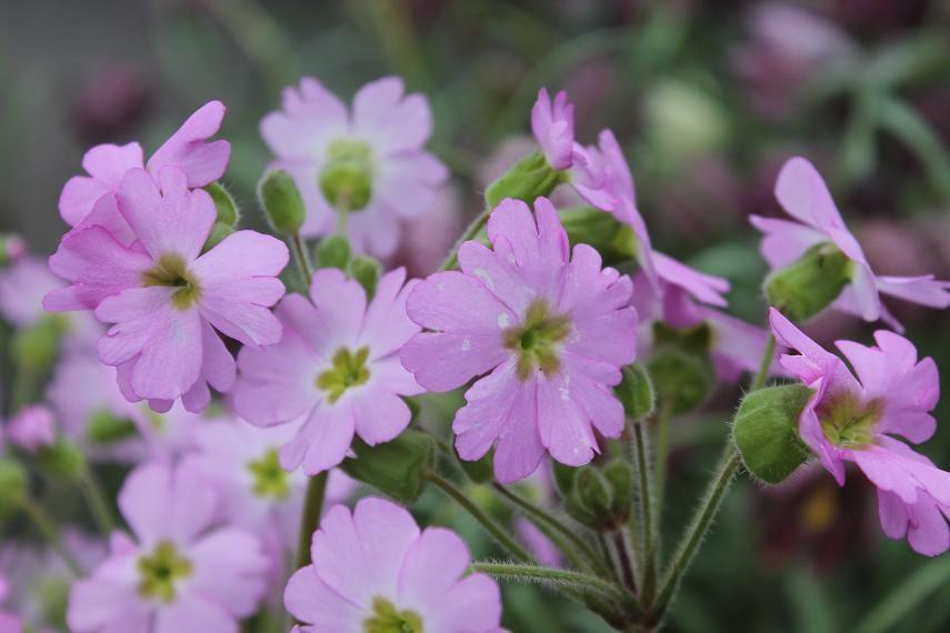 Primula Ooh la la, des fleurs tout l'été
