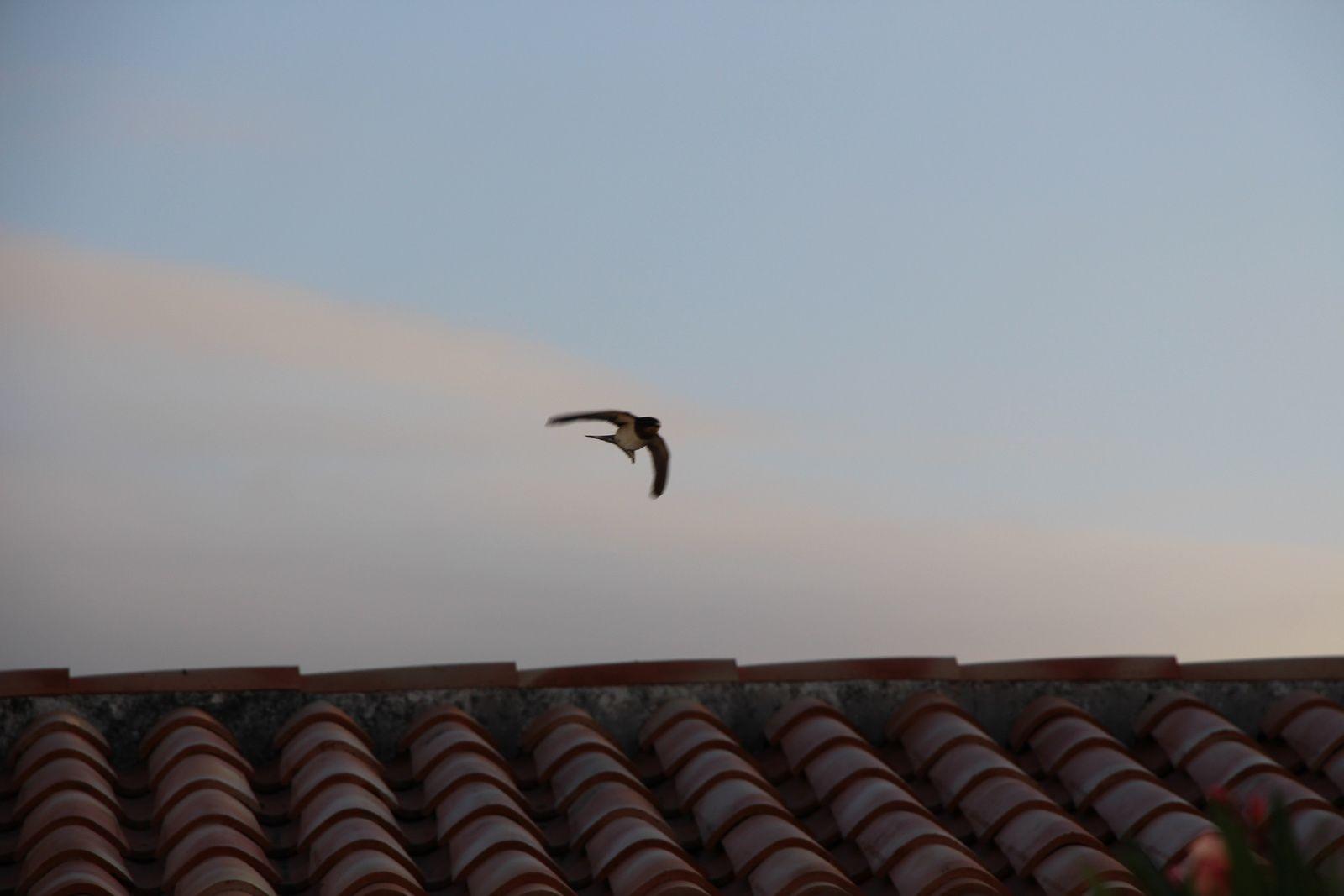 Le vol des hirondelles
