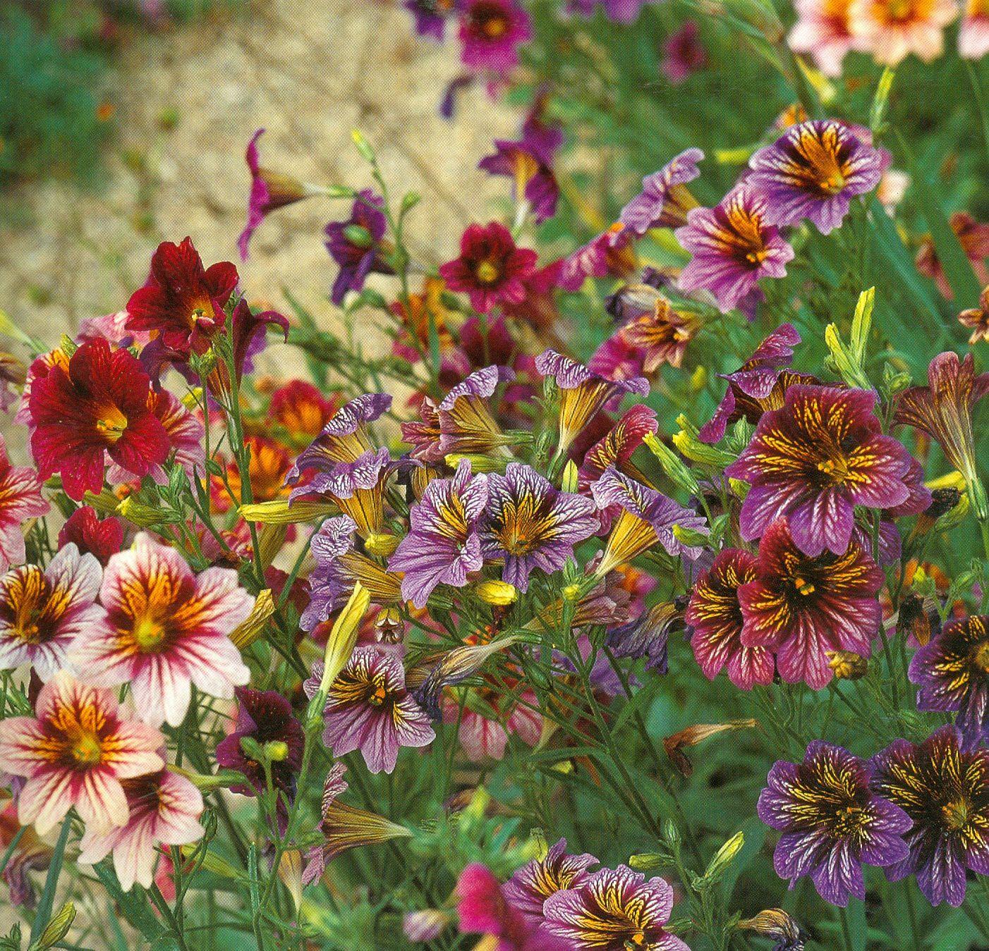 Belles de nos jardins