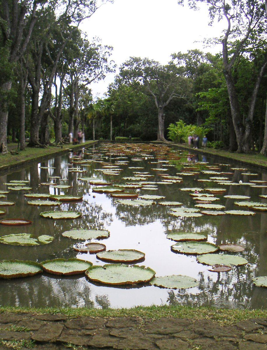 Nénuphars géants Victoria regia - Jardin botanique de Pamplemousse