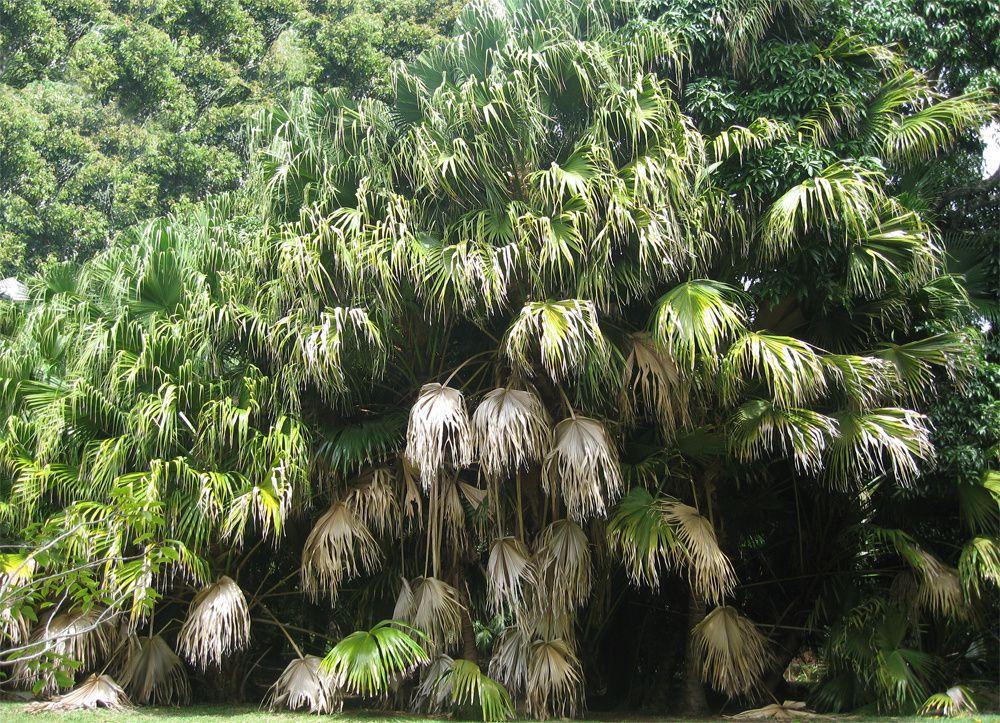 Palmier géant - Jardin Eureka