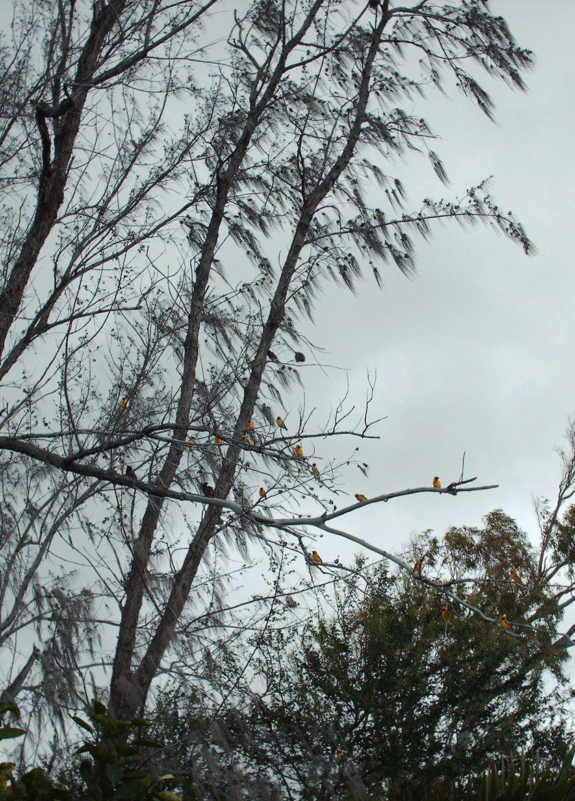 Oiseaux jaunes - Tisserin sur des filaos (home)
