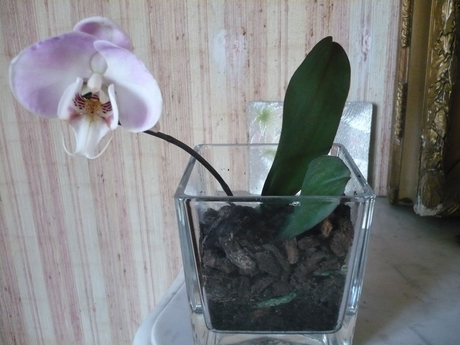 Un keiki devenu orchid e avec une belle fleur dentelle broderie tricot cuisine jardinage et - Terreau pour orchidee ...