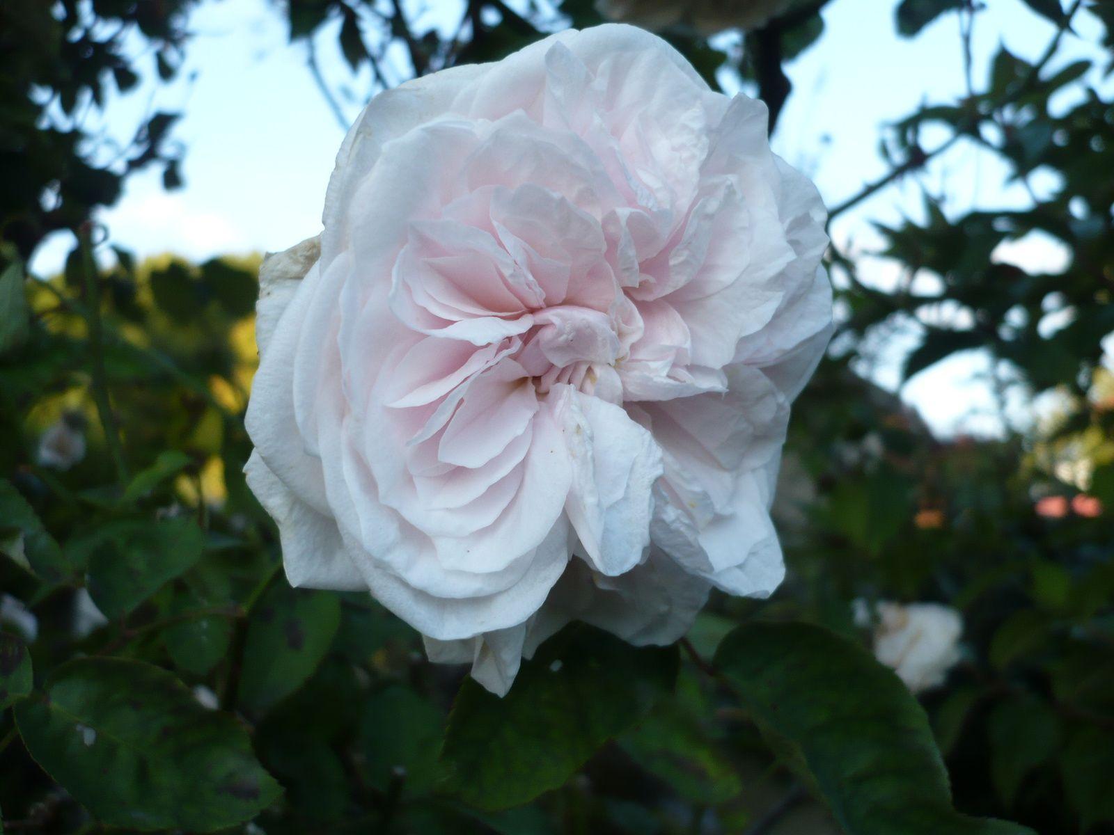 "les roses ""chiffon"" anciennes odorantes"