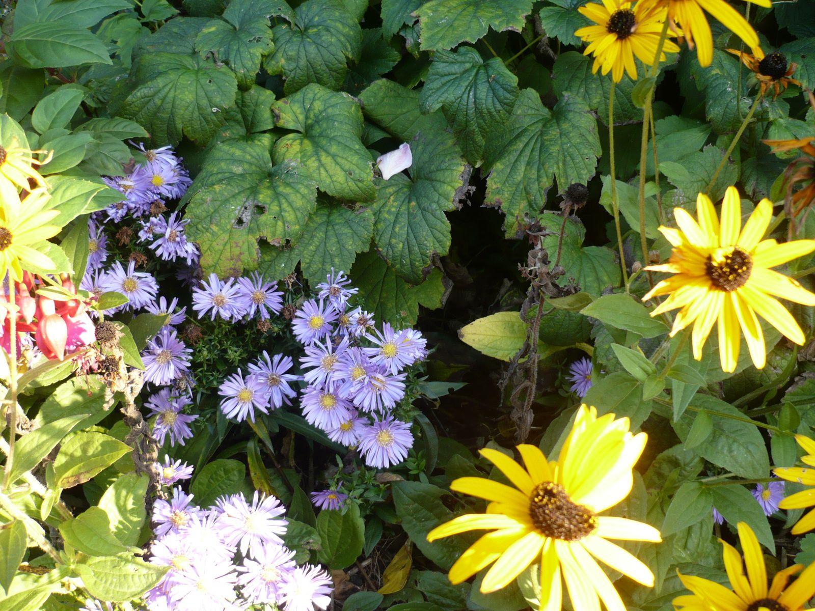 rudbeckia jaune, asters nains et fuschias