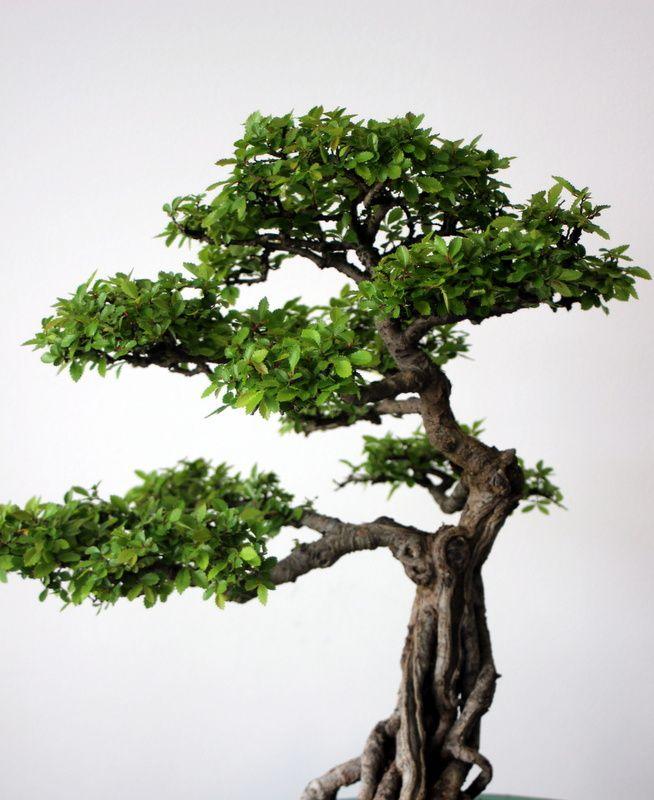 La légende des bonsaïs